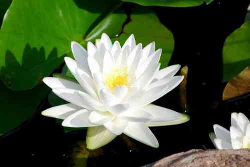 Seerose, Nymphaea Perrys Double White