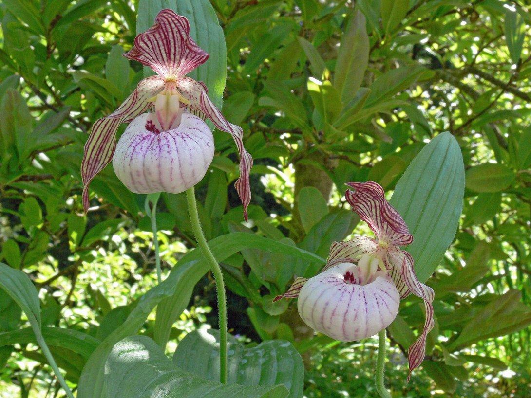 cypripedium 39 paul 39 frauenschuh winterharte orchidee kaufen. Black Bedroom Furniture Sets. Home Design Ideas