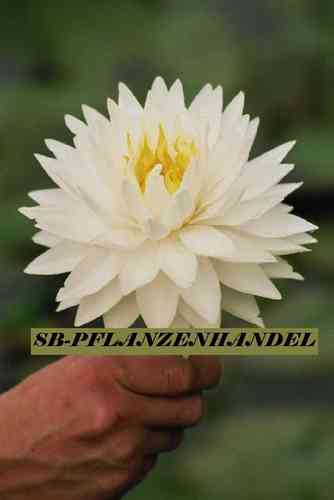 Seerose Nymphaea Glorie Du Temple Sur Lot