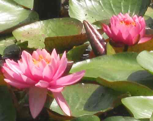 Seerose, Nymphaea 'Perrys Rich Rose'