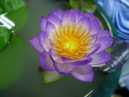 Seerose, Nymphaea 'Queen Sirikit'