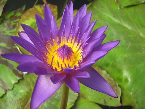 Seerose, Nymphaea 'William McLane' - tropische Seerose