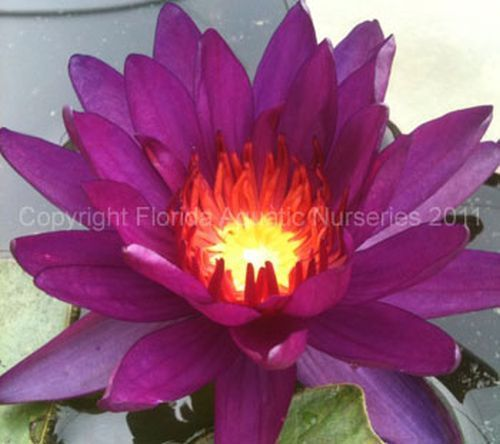 Nymphaea `Purple Fantasy` - Winterharte ISG Seerose