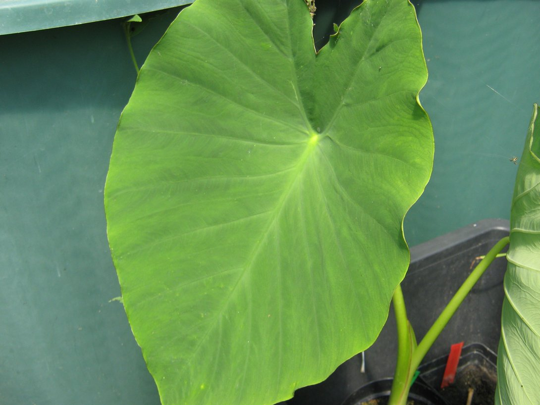 colocasia jacks giant kaufen