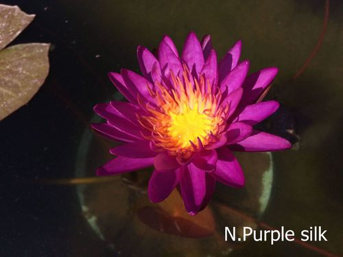 ISG Seerose Nymphaea Purple Silk
