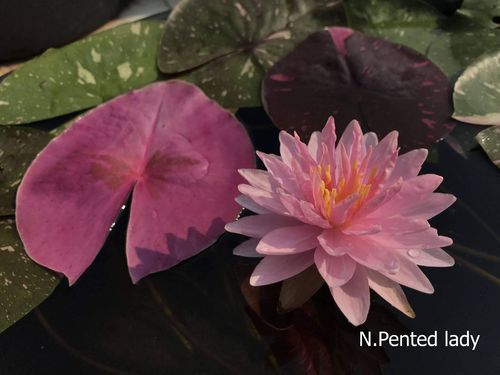 "Seerose Nymphaea ""Painted Lady"""